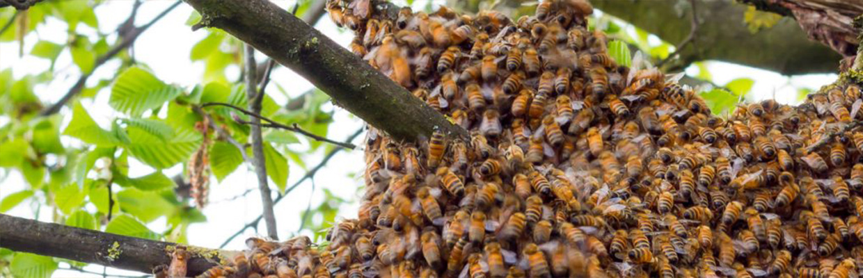 Mission Viejo Bee Removal - Bee Swarm In Tree